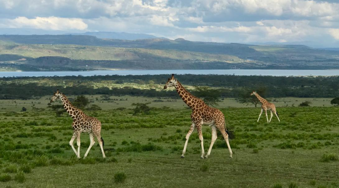Rothschild giraffes spotted during a safari drive in Kenya